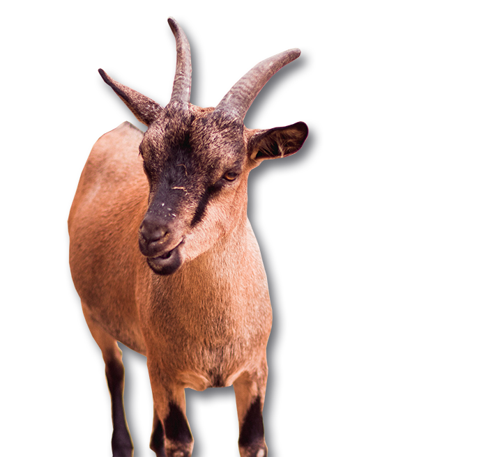 goat55
